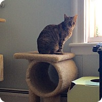 Domestic Shorthair Cat for adoption in Jersey City, New Jersey - Cami