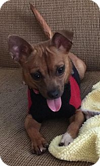 Chihuahua Mix Dog for adoption in New York, New York - Franklin