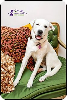 Labrador Retriever/Great Dane Mix Dog for adoption in Richardson, Texas - Libby