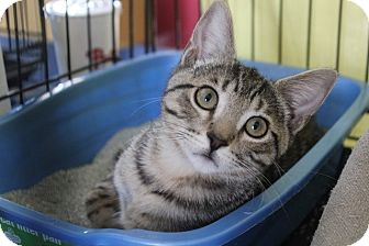 Domestic Shorthair Kitten for adoption in Los Angeles, California - Nick