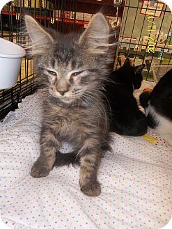 Domestic Longhair Kitten for adoption in Riverside, Rhode Island - Jake