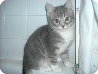 Domestic Shorthair Kitten for adoption in Arlington, Virginia - Sherman