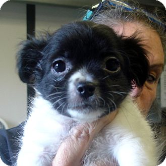 Shih Tzu Mix Puppy for adoption in baltimore, Maryland - Keebler