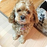 Adopt A Pet :: ROXY - Tacoma, WA