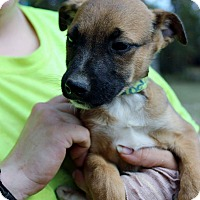 Adopt A Pet :: Brody - Naugatuck, CT