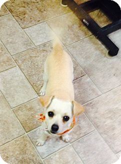 Chihuahua Mix Dog for adoption in Manassas, Virginia - Chi Chi *adoption pending*