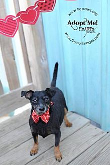 Dachshund/Miniature Pinscher Mix Dog for adoption in Liberty, Missouri - Beauty
