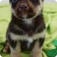 Adopt A Pet :: Hawkeye - Barnegat, NJ