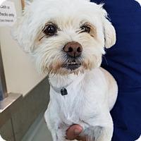Adopt A Pet :: Shellie - Covina, CA