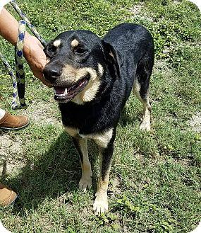 Shepherd (Unknown Type)/Retriever (Unknown Type) Mix Dog for adoption in LANSING, Michigan - The Three Amigos (Oso)