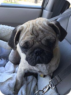 Pug Dog for adoption in Gardena, California - Rachyl