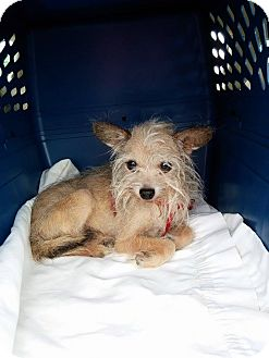Yorkie, Yorkshire Terrier/Chihuahua Mix Dog for adoption in Wyanet, Illinois - Harvey