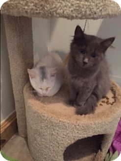 Domestic Longhair Kitten for adoption in Ashland, Ohio - GrayC