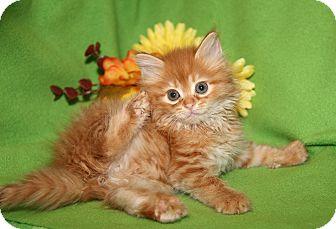 Domestic Mediumhair Kitten for adoption in Marietta, Ohio - Pumpkin (Spayed)