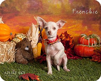 Terrier (Unknown Type, Small)/Chihuahua Mix Puppy for adoption in Scottsdale, Arizona - Frenchie
