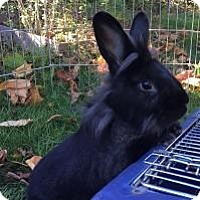 Lionhead Mix for adoption in Woburn, Massachusetts - Midnight