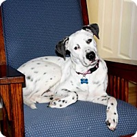 Labrador Retriever/Dalmatian Mix Puppy for adoption in richmond, Virginia - PUPPY LINCOLN