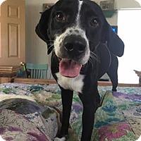 Pointer/Border Collie Mix Dog for adoption in Snyder, Texas - Bentley