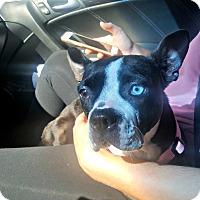 Boston Terrier Dog for adoption in Greensboro, North Carolina - Nala - Adoption Pending
