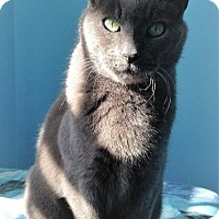 Domestic Shorthair Cat for adoption in Fairfax, Virginia - Graham