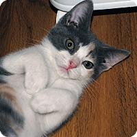 Domestic Shorthair Kitten for adoption in Middleton, Wisconsin - Bianca