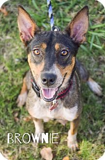 Australian Cattle Dog Mix Dog for adoption in DFW, Texas - Brownie