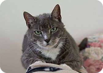 Domestic Shorthair Cat for adoption in Satellite Beach, Florida - Tally