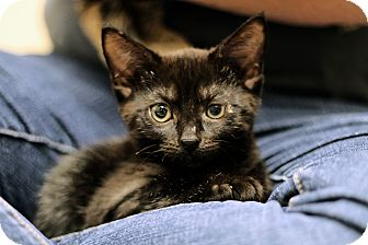 Domestic Shorthair Kitten for adoption in Chicago, Illinois - Zambezi