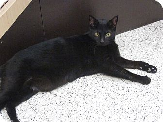 Domestic Shorthair Cat for adoption in Warminster, Pennsylvania - Jo Jo