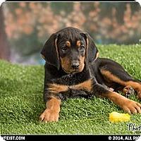 Adopt A Pet :: Moose - Franklin, VA
