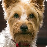 Adopt A Pet :: Cody-Adoption pending - Bridgeton, MO