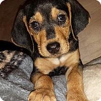 Adopt A Pet :: Mauser Benzon - Lancaster, PA