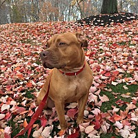 Pit Bull Terrier Mix Dog for adoption in New York, New York - YEEZY