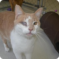 Domestic Shorthair Cat for adoption in East Smithfield, Pennsylvania - Plato