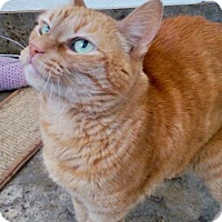 American Shorthair Cat for adoption in Alamogordo, New Mexico - Cara