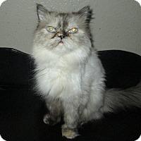 Adopt A Pet :: Chatty Cathy - Gilbert, AZ