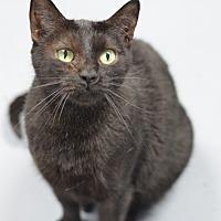 Domestic Shorthair Cat for adoption in Atlanta, Georgia - Sundae 13263