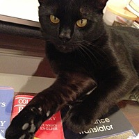 Domestic Shorthair Cat for adoption in Bryn Mawr, Pennsylvania - Noir/ curious/ full of energy