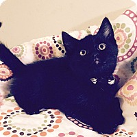 Adopt A Pet :: Baloo - Addison, IL