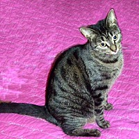 Domestic Shorthair Cat for adoption in Houston, Texas - Ginger