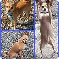 Adopt A Pet :: Mikie - Auburn, WA