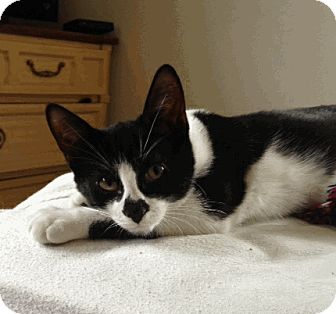 Domestic Shorthair Kitten for adoption in Cleveland, Ohio - Chezza