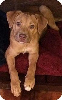 Boxer/Labrador Retriever Mix Puppy for adoption in Erie, Colorado - Lilly