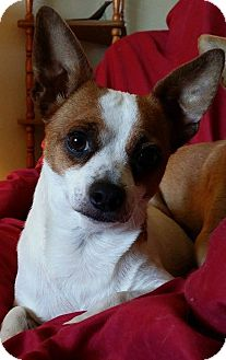 Chihuahua Mix Dog for adoption in Snyder, Texas - Obi