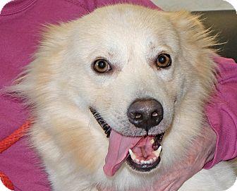 Australian Shepherd/Chow Chow Mix Dog for adoption in Spokane, Washington - Jack