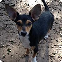 Chihuahua/Jack Russell Terrier Mix Dog for adoption in Von Ormy, Texas - Sport(PC)