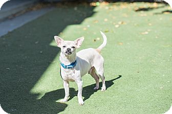 Chihuahua Mix Dog for adoption in San Francisco, California - Oliver