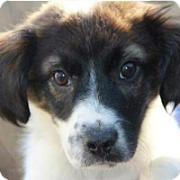 Adopt A Pet :: Chrissy - Parker Ford, PA