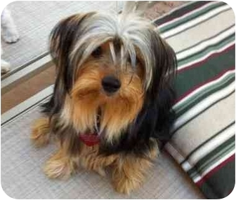 Yorkie, Yorkshire Terrier Puppy for adoption in West Palm Beach, Florida - Champ
