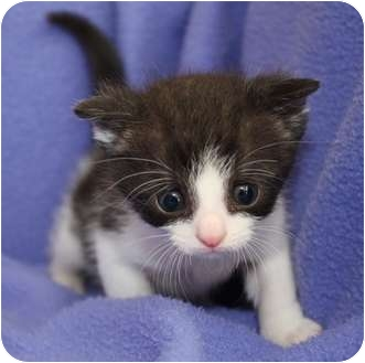 Domestic Shorthair Kitten for adoption in Union, Kentucky - Boomer
